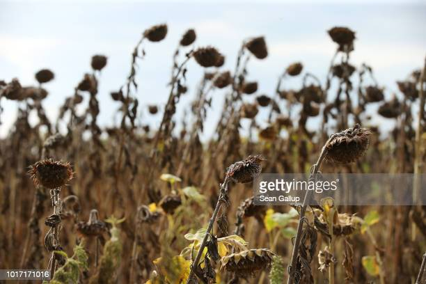 Sunflower plants stunted in size and height stand at a parched sunflower field at Prensdorf on August 15 2018 near Golssen Germany Southern...
