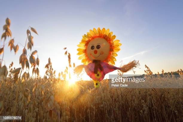 sunflower scarecrow in field - scarecrow faces stock photos and pictures