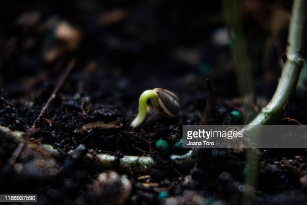 sunflower seed growing -conceptual nature - joana toro stock pictures, royalty-free photos & images