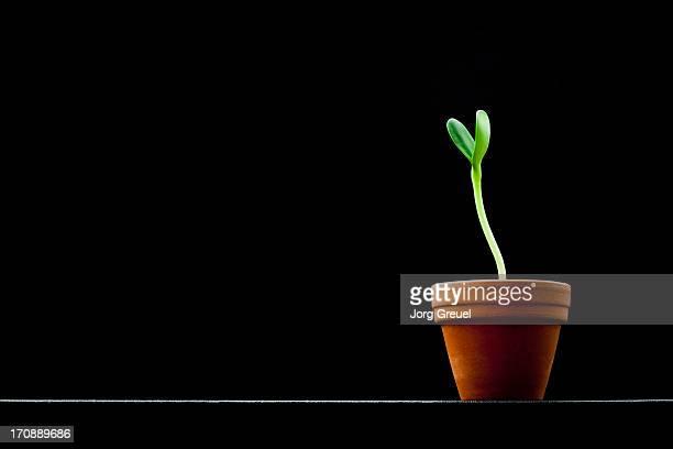 Sunflower seedling in a pot