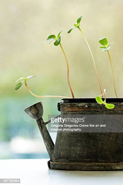 sunflower seedlings in a rustic tea pot - gregoria gregoriou crowe fine art and creative photography fotografías e imágenes de stock