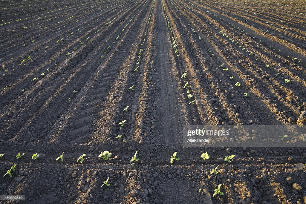 Sunflower sprouts : Stock Photo