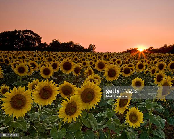 sunflower sunset - メリーランド州ポトマック ストックフォトと画像