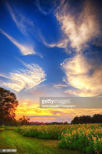 sunflower sunset - mississippi stock photos and pictures