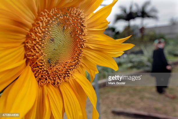 A sunflower watches over the gardens during the Earth Day celebration at the Growing Experience Urban Farm in Long Beach April 22 2015 The public was...