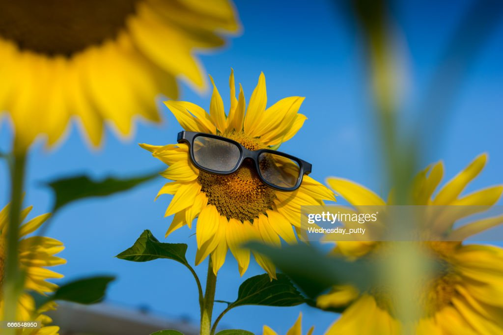 Sunflower wearing sunglasses in the field and blue sky - Background, Wallpaper : Stock Photo