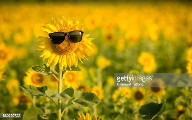 sunflower wearing sunglasses - printemps humour photos et images de collection