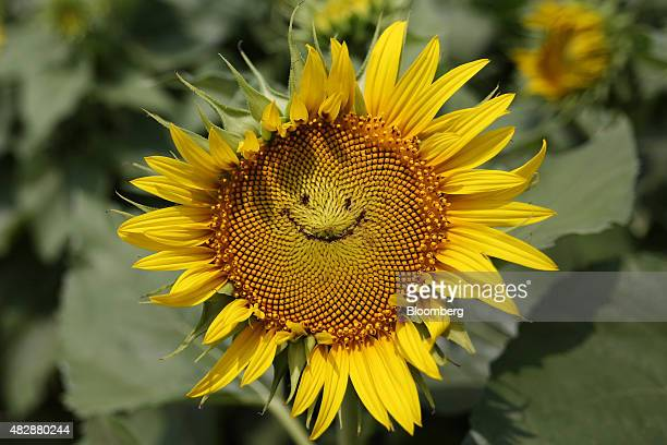 A sunflower with a smiley face imprinted on it grows in a field in Tokyo Japan on Monday Aug 3 2015 The Japan Meteorological Agency reported that...