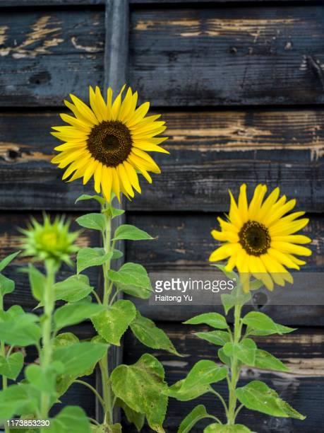 sunflower with dark background - botánica fotografías e imágenes de stock