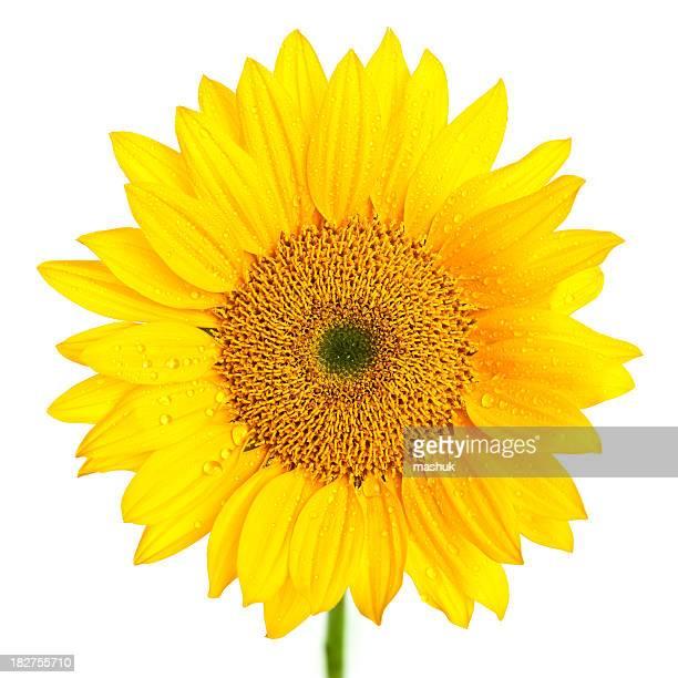 Sonnenblume mit Tau Isoliert