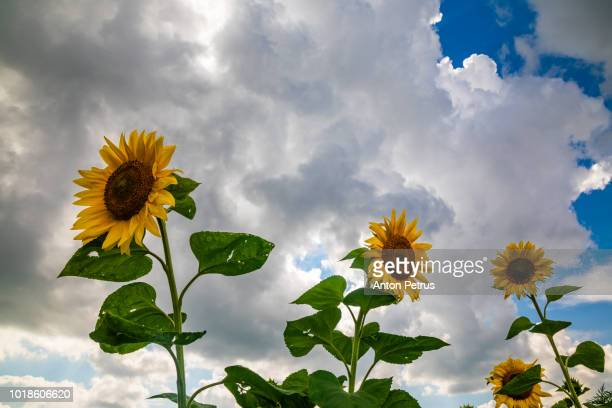 Sunflowers against a beautiful sky with clouds