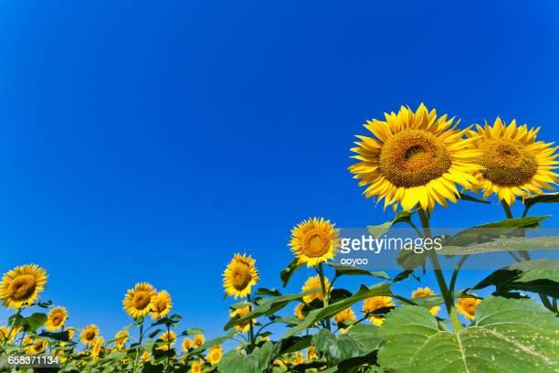 Sunflowers Against Clear Blue Sky