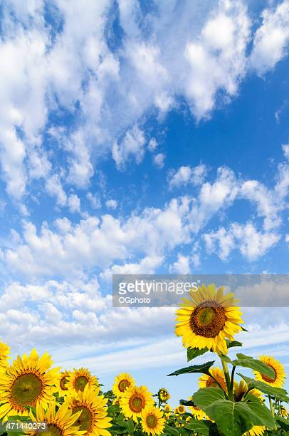 sunflowers against clouds and sky - ogphoto stock pictures, royalty-free photos & images