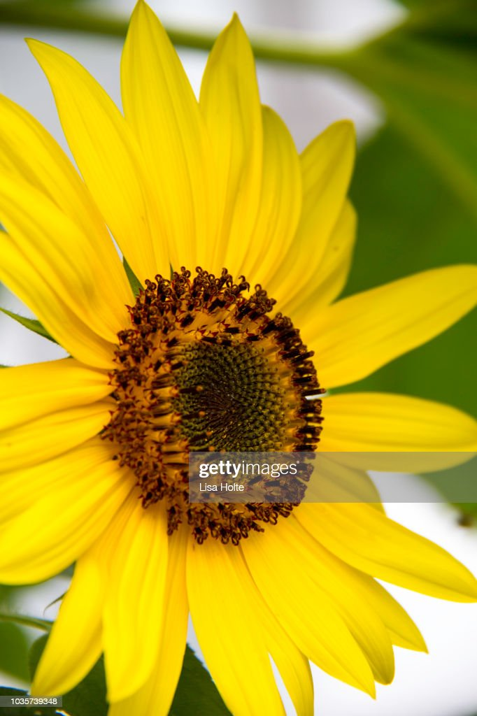 Sunflowers and Bees : Stock Photo