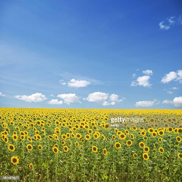 Sunflowers y cielo azul