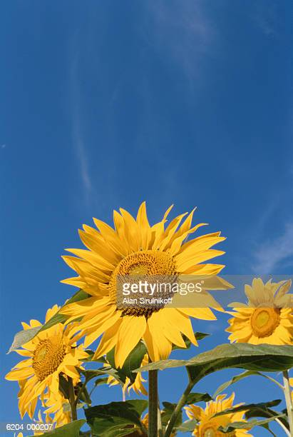 sunflowers and clear sky - sirulnikoff stock pictures, royalty-free photos & images