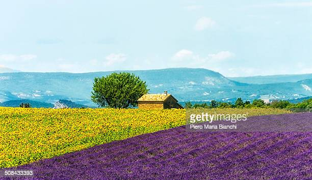 CONTENT] Sunflowers and lavender fields in Valensole Provence France