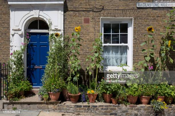 Sunflowers and other potted plants grow outside a Victorianera cottage on Maidenstone Hill in Greenwich on 6th July 2020 in London England