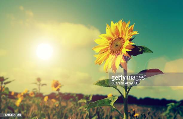 sunflowers and sun - girasoli foto e immagini stock