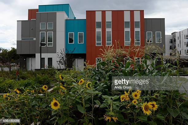 Sunflowers aplenty in the Mariposa Urban Farm garden in the Denver Housing Authority's Mariposa Apartments near 11th and Navajo in the La...