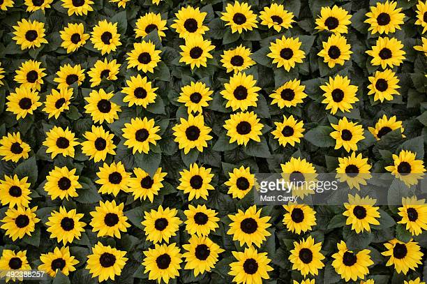 Sunflowers are displayed in The Great Pavilion at the RHS Chelsea Flower Show on May 20 2014 in London England The prestigious gardening show which...