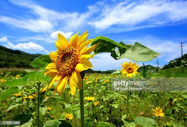 Sunflowers are in bloom at the nogo zone of the crippled Fukushima Daiichi Nuclear Power Plant on July 6 2011 in Iitate Fukushima Japan