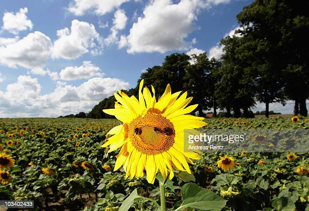 Sunflowers are in full bloom on a sunny day on August 16 2010 in Altlandsberg near Berlin Germany After a period with storm and rain temperatures are...
