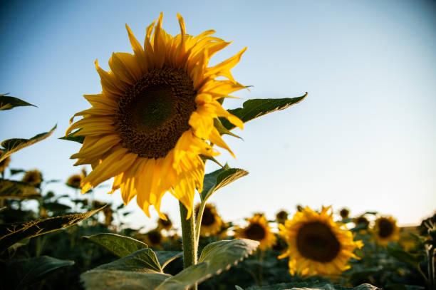 BGR: Sunset Over Sunflowers Near The Black Sea Village Of Klimentovo Bulgaria