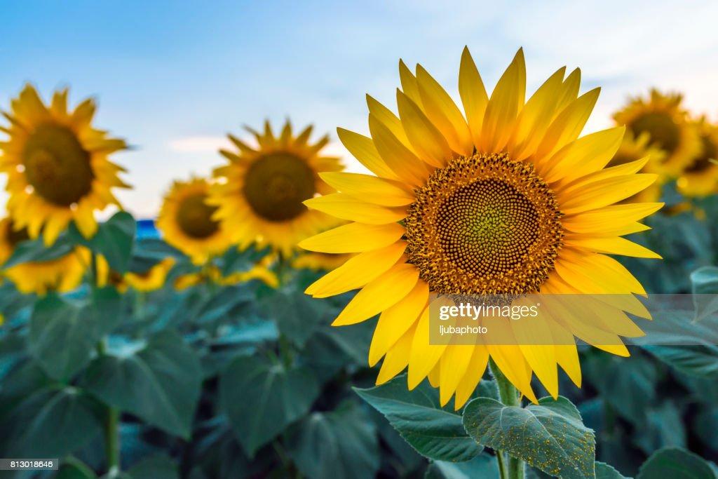 sunflowers at dawn : Stock Photo