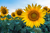 sunflowers at dawn