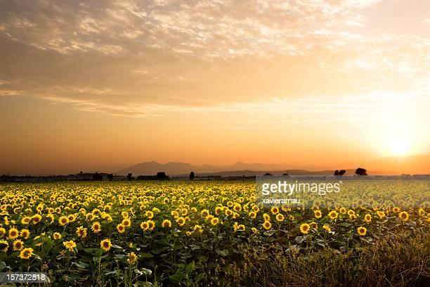 Sunflowers al atardecer