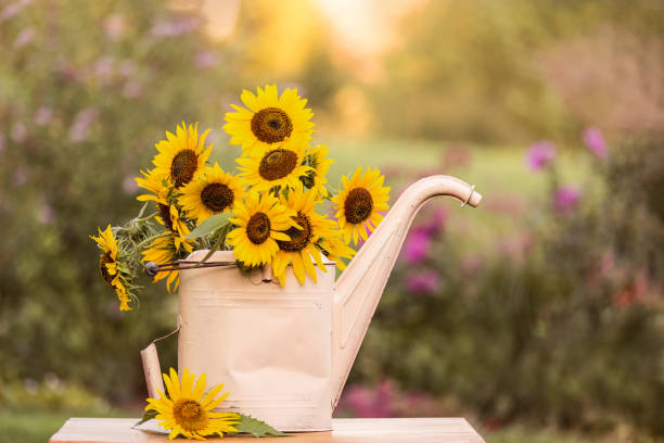 Sunflowers at sunset in an old watering can