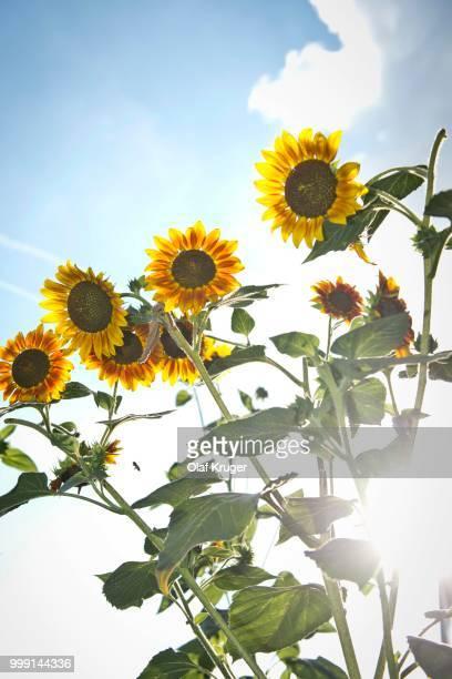 Sunflowers (Helianthus annuus), backlit, Stuttgart, Baden-Wuerttemberg, Germany