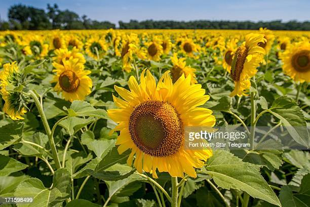 Sunflowers bloom in a field in North Texas on June 8 2013
