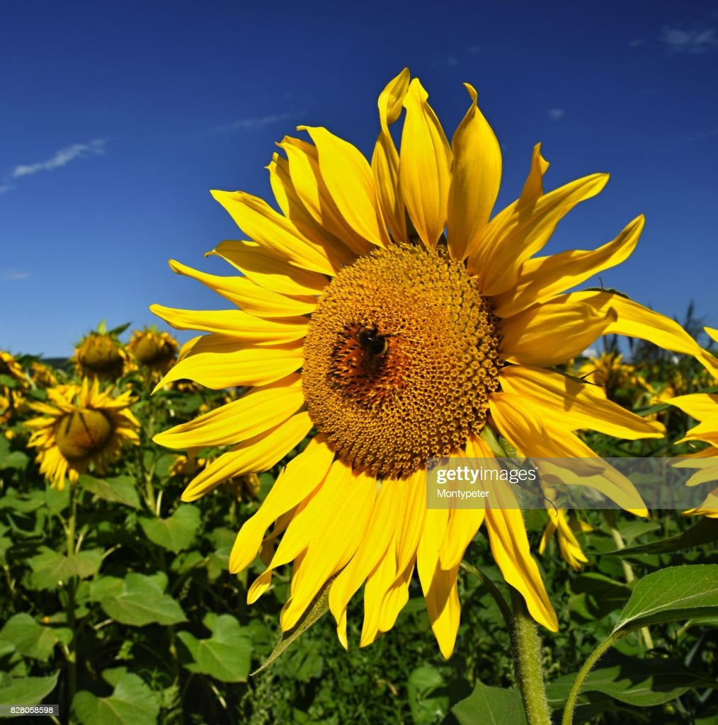Sunflowers blooming in farm field with blue sky and clouds beautiful sunflowers blooming in farm field with blue sky and clouds beautiful natural colored background flower in nature izmirmasajfo