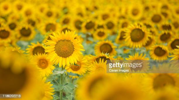 sunflowers blooming on field - sunflower stock pictures, royalty-free photos & images