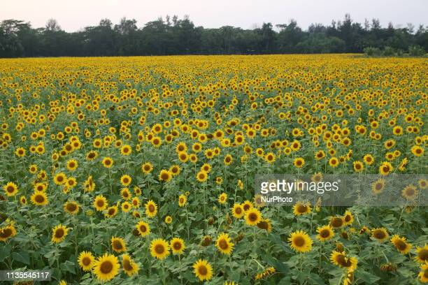 Sunflowers blossom at Suborno Char in Noakhali Bangladesh on April 4 2019 The sunflower plantation is increasing day by day across the coastal...