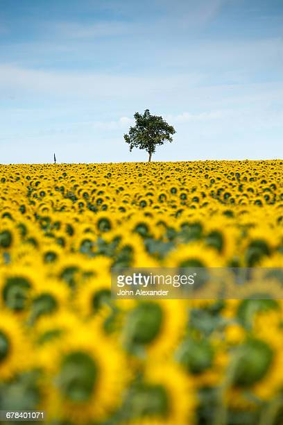sunflowers (helianthus), chillac, charente, france, europe - charente stock pictures, royalty-free photos & images