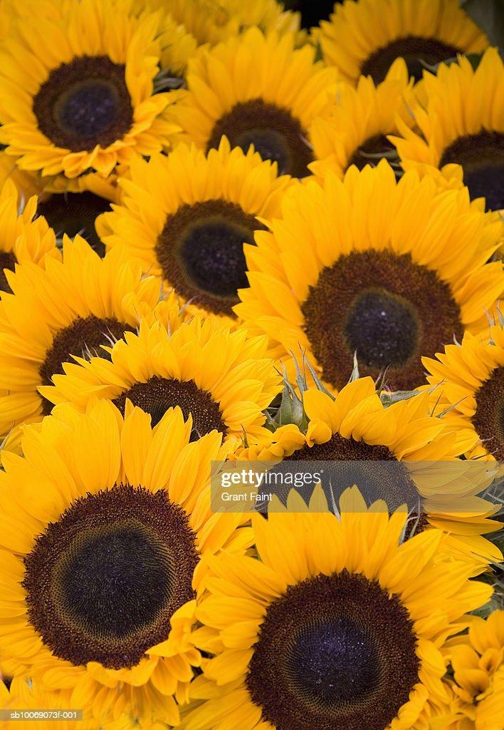 Sunflowers, close-up : Stockfoto