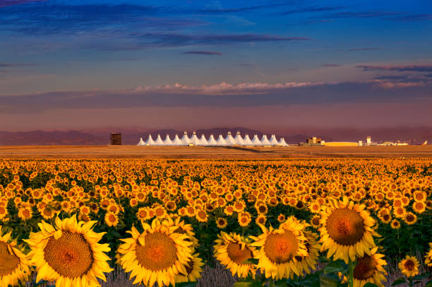 Sunflowers Denver Airport
