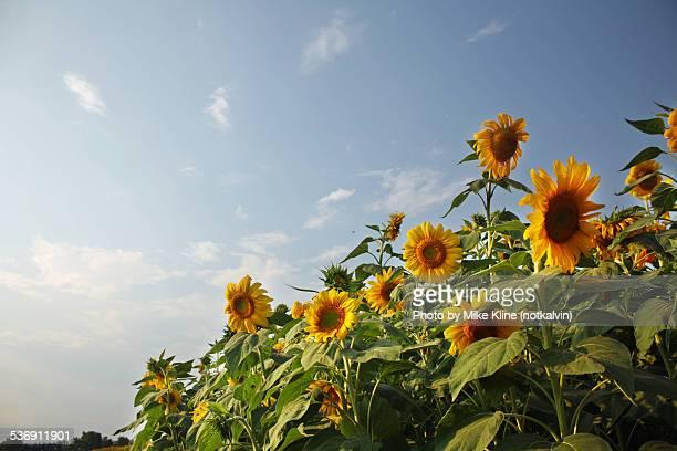 Sunflowers diagonally