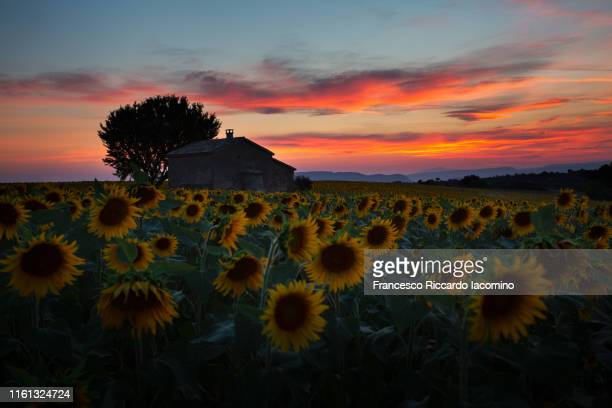sunflowers field after sunset in provence, france. low key - francesco riccardo iacomino france foto e immagini stock