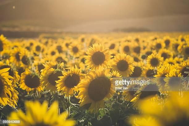 sunflowers field - castilla y león bildbanksfoton och bilder