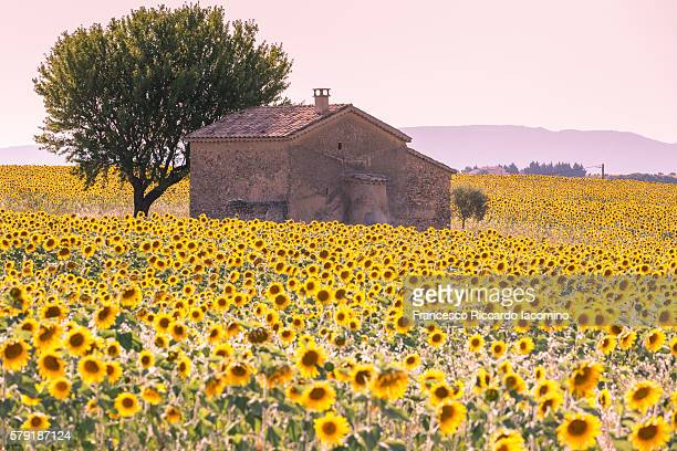 sunflowers field, valensole - provence alpes cote d'azur stock photos and pictures