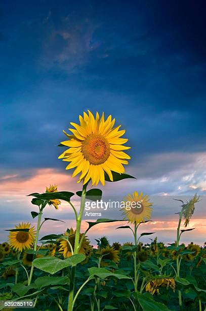 Sunflowers flowering in field in summer at sunset