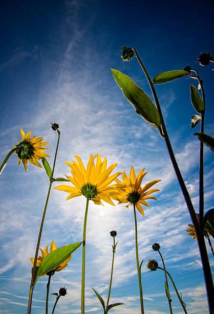 Sunflowers from below