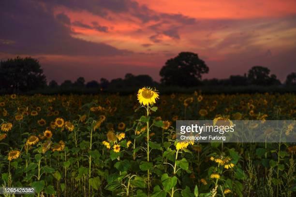 Sunflowers grow in a field at Little Heath Farm on August 11, 2020 in Dunham Massey, United Kingdom. Farmer Mark Jones created the fields to benefit...