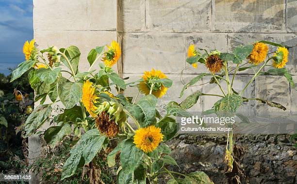 Sunflowers growing besides a stone wall