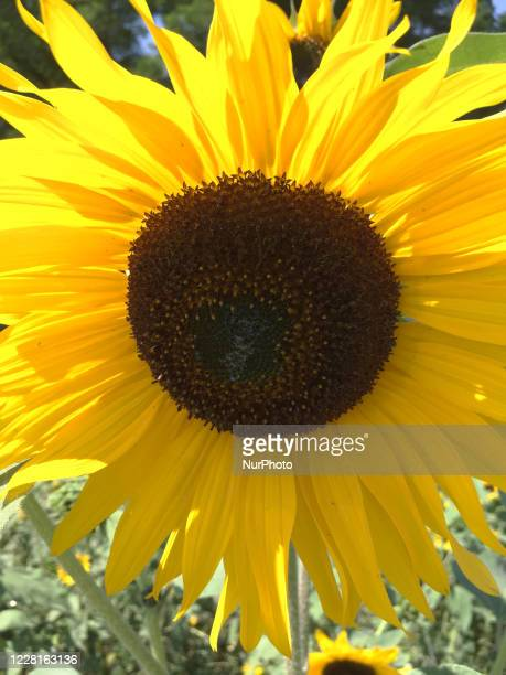 Sunflowers growing in a field in Ontario Canada on August 22 2020