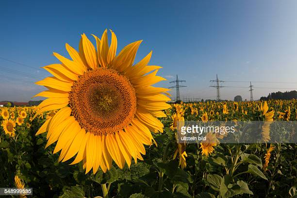 Sunflowers Helianthus annuus Munich Bavaria Germany